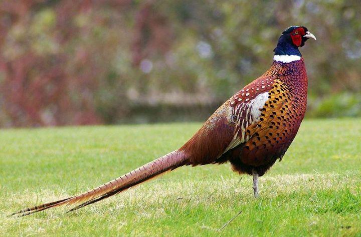 800px-Pheasant.jpg